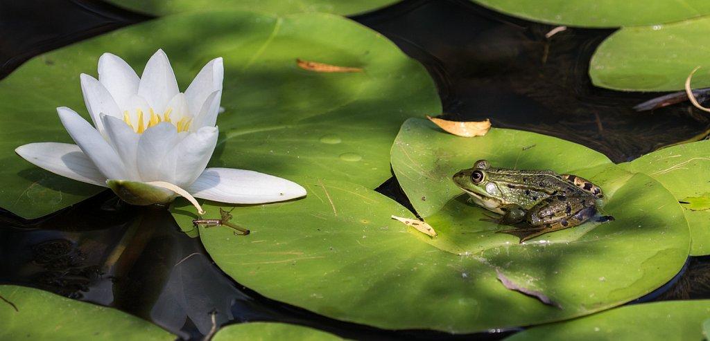 Groene kikker - Rana esculenta