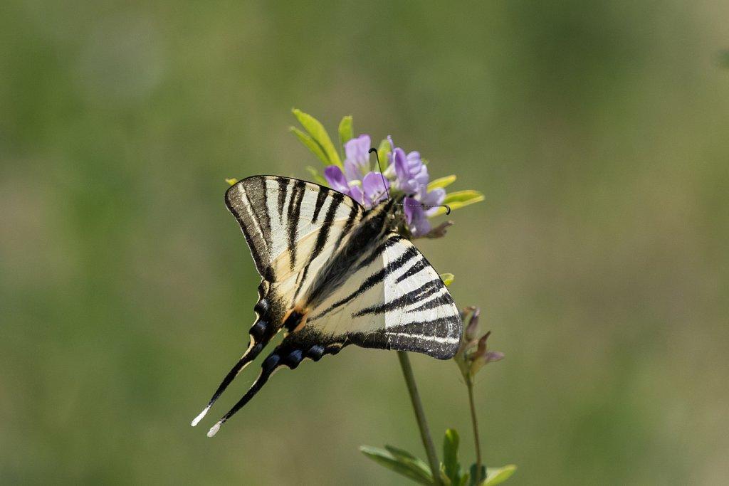 Koningspage-Iphiclides podalirius